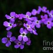 Phlox Blossoms Poster