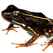 Phyllobates Lugubris Poster by JP Lawrence