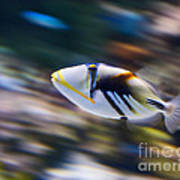 Picasso - Lagoon Triggerfish Rhinecanthus Aculeatus Poster