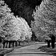 Pigeon Mountain Dogwoods In Black And White Poster