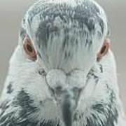 Pigeon Portrait En Face Poster