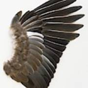 Pigeon Wing Showing Overlapping Feathers Poster