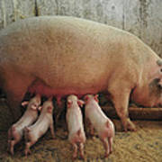 Momma Pig And Piglets Poster by Terry DeLuco
