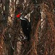 Pileated In Winter Poster