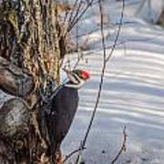 Pileated Woodpecker Winter Poster