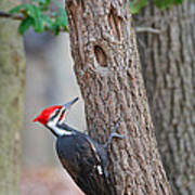 Pileated Woodpecker On Tree Poster