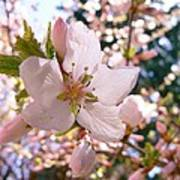 Pin Cherry Blooms Poster