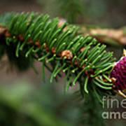 Pine Blossom Poster