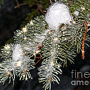 Pine Branch With Ice And Stars Poster