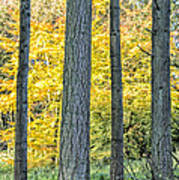 Pine Forest In The Autumn Poster