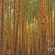 Pine Forest Lienewitz Germany Poster