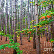 Pine Forest With Autumn Color Poster