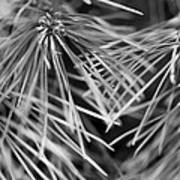 Pine Needle Abstract Poster