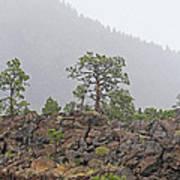 Pine On Lava Poster