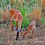 Piney Mountain Doe And Fawn Poster