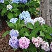 Pink And Blue Hydrangea Poster