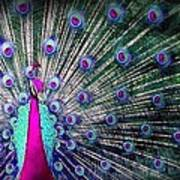 Pink And Blues Peacock Poster by Diana Shively