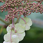 Pink And Green Hydrangea Closeup Poster