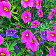 Pink And Purple Petunias Poster