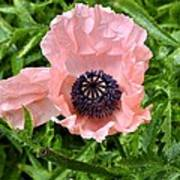 Pink And Purple Poppy Poster