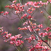 Pink And Purple Spring Trees Poster by Carol Groenen