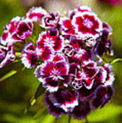 Pink And White Carnations Poster