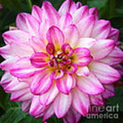 Pink And White Dahlia Square Poster