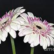 Pink And White Gerbera 2 Poster