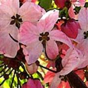 Pink And White Shower Tree Poster
