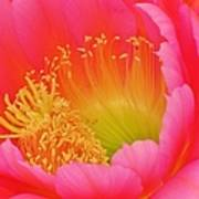 Pink And Yellow Cactus Flower Poster