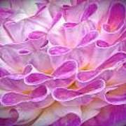 Pink And Yellow Dahlia Poster