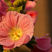 Pink And Yellow Hollyhock Poster