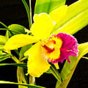 Pink And Yellow Orchid Flower  Poster