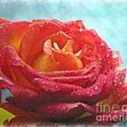 Pink And Yellow Rose With Dew II  Poster