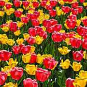 Pink And Yellow Tulips Poster