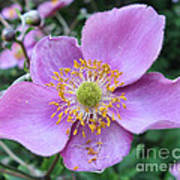Pink Anemone Flower Poster