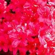 Pink Azalea's Poster