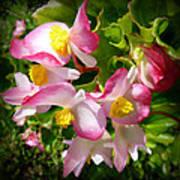 Pink Begonia Poster