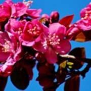 Pink Blossoms Closeup 031015a Poster