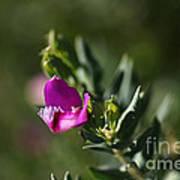 Pink Blush - Sweet Pea Bush  Poster
