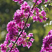 Pink Bougainvillea Sunshine Poster
