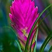Pink Bromelaid Flower Poster