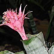 Pink Bromeliad Bloom Poster by Kaye Menner