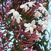 Pink Buds And Jasmine Blossom Close Up Poster