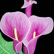 Pink Calla Lilies 1 Poster