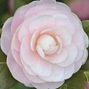 Pink Camelia Flower Poster
