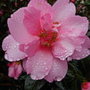 Pink Camelia With Droplets Poster