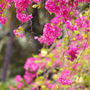 Pink Cascade Of Bougainvillea. Vertical Poster