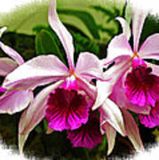 Pink Cattleya Cluster Poster