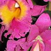 Pink Cattleya Orchid Poster